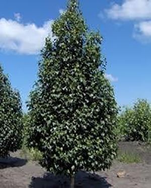 DAKOTA PINNACLE BIRCH 2