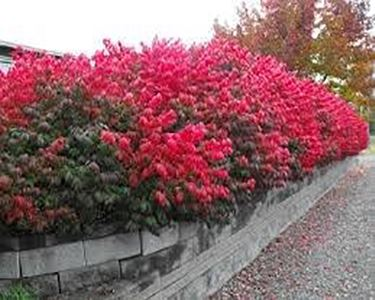 dwarf burning brush