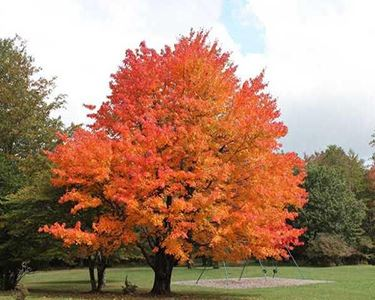 Sugar-Maple 2