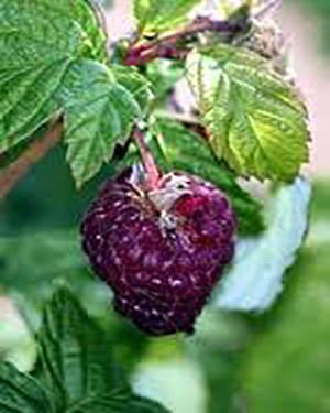 wyoming raspberry