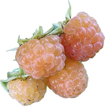 Honeyqueen Raspberry