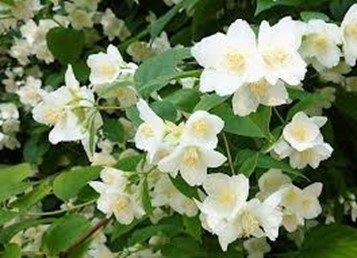 Lewis Mock Orange 1