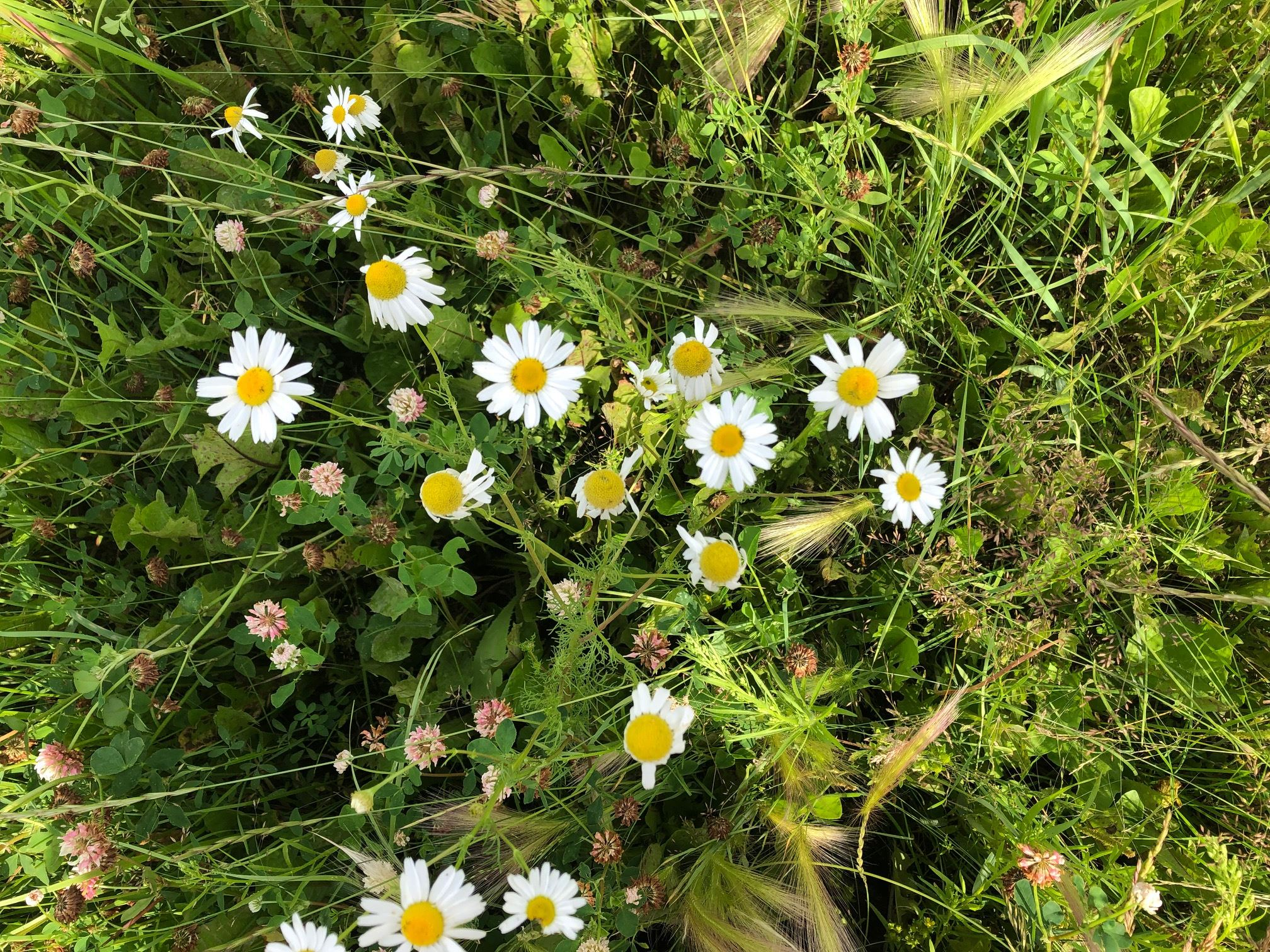 Scentless Chamomile 3