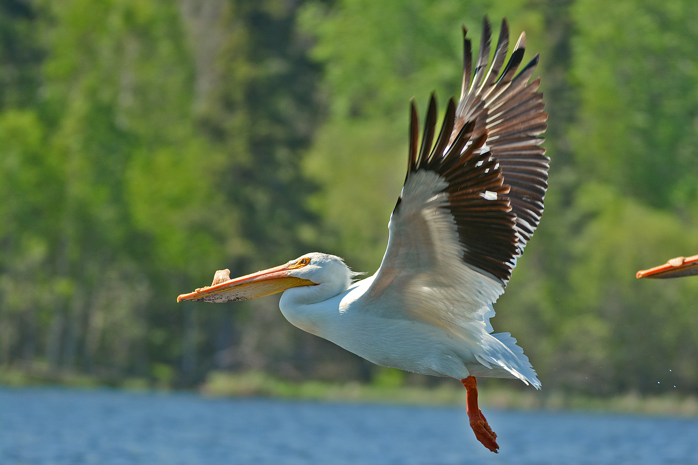 Pelican Flying 01